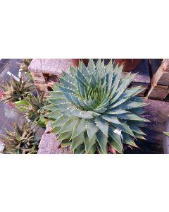 Aloe polyphylla / Aloès spirale du Lesotho