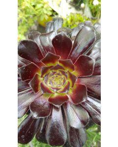 Aeonium Purpureum / Aéonium pourpre