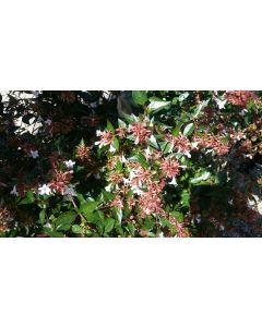 Abelia X grandiflora / Abelie à grandes fleurs
