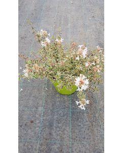 Abelia X grandiflora 'Pink lady' / Abelie à grandes fleurs naine panaché