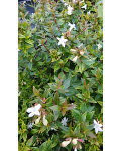 Abelia X grandiflora 'Sherwood' / Abelie à grandes fleurs naine