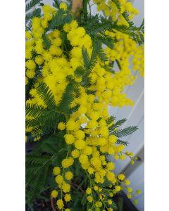 Acacia dealbata 'Gaulois Astier' (de Bouture) / Mimosa des fleuristes