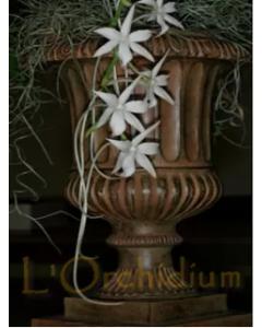 Aerangis articulata / Orchidée à fleur étoilée