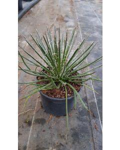 Agave geminiflora / Agave à fleurs géminées