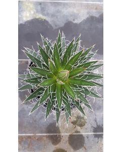 Agave obscura f. 'multiflora'