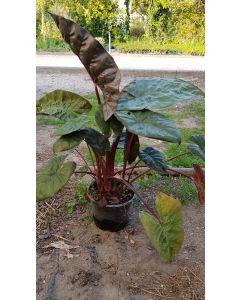 Alocasia sarawakensis 'Yuccatan princess' / Alocasia de Sarawak