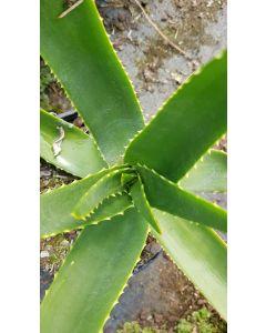 Aloe ericetorum