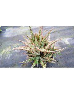 Aloe x 'Piranha' / Aloès  Piranha