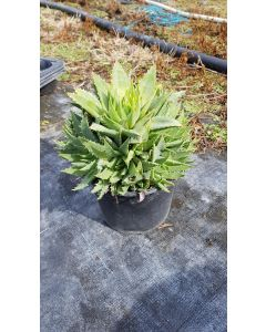 Aloe polyphylla 'Cristata' / Aloès spirale du Lesotho 'Cristata'