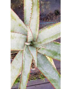 Aloe capitata 'Yellow hoodie' / Aloès arborescente