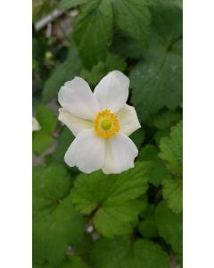 Anemone x 'Coupe d'argent' / Anémone du Japon blanche