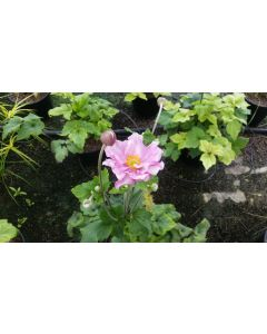 Anemone x 'Konigin Charlotte' / Anémone du Japon rose