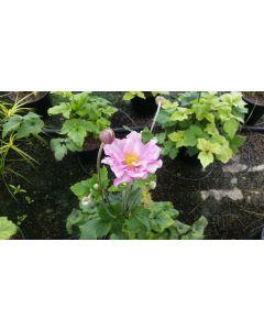 Anemone x 'Honorine Jobert' / Anémone du Japon blanche