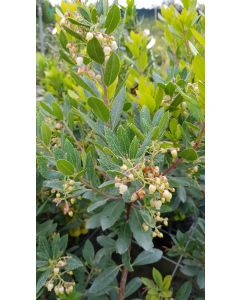 Arbutus unedo 'Compacta' / Arbousier ou Arbre aux fraises compact