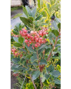 Arbutus unedo 'Rubra' / Arbousier ou Arbre aux fraises à fleurs rouge