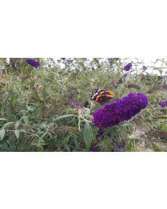 Buddleia davidii 'Black Knight' / Arbre aux papillons à fleurs pourpres
