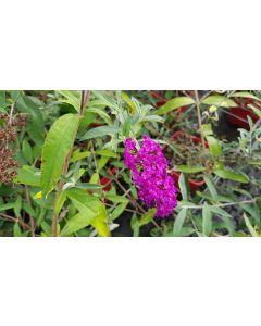 Buddleia davidii 'Royal red' / Arbre aux papillons à fleurs rouges