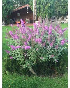 Buddleja davidii FLUTTERBY™PINK / Arbre aux papillons rose