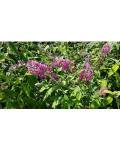Buddleia davidii 'Flower power'® / Arbre aux papillons bicolore