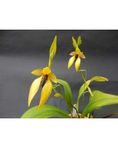 Bulbophyllum orthoglossum