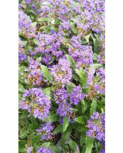 Caryopteris x clandonensis 'Grand Bleu' / Spirée bleue