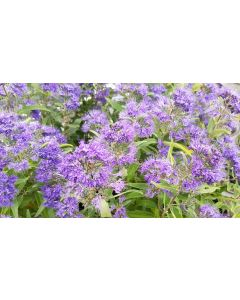 Caryopteris x clandonensis 'Heavenly Blue' / Spirée bleu