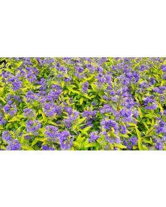 Caryopteris x clandonensis PW 'Sunny Blue'® / Spirée bleu panachée