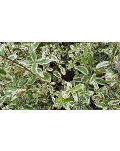 Caryopteris x clandonensis 'White Surprise'® / Spirée bleu panachée