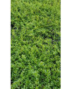 Ceanothus thrysiflorus 'Repens' / Lilas de Californie rampant