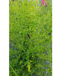 Ceanothus thrysiflorus 'Skylark' / Lilas de Californie Bleu