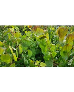 Cercidyphyllum Japonicum / Katsura ou arbre au caramel