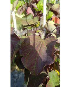Cercis canadensis 'Forest Pansy' / Gainier du Canada pourpre