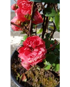 Chaenomeles speciosa 'Pink Storm' / Cognassier du Japon rose