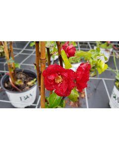 Chaenomeles speciosa 'Scarlet Storm' / Cognassier du Japon rouge