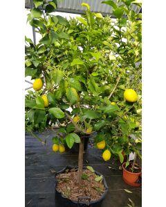 Citrus sinensis / Oranger