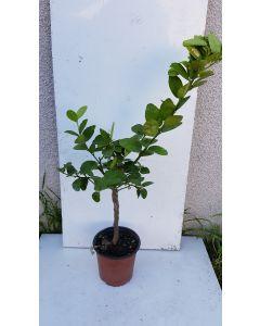 Citrus aurantifolia 'Mexicana' greffé sur Volkamariana / Limettier mexicain