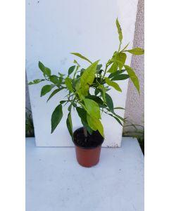 Citrus aurantium greffé sur Volkamariana /Bigaradier de Séville