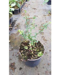 Citrus australasica 'D'esmerald' greffé sur Poncirus trifoliata / Citronnier caviar D'esmerald