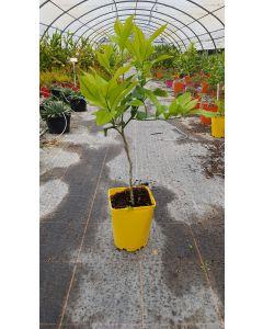 Citrus lemon '4 Saisons' greffé sur Poncirus trifoliata / Citronnier 4 Saisons