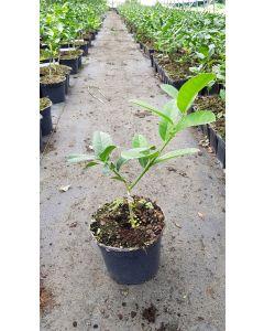 Citrus medica 'Digitata' greffé sur Poncirus trifoliata / Cédratier Main de Bouddha