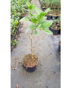 Citrus x meyeri greffé sur Poncirus trifoliata / Citronnier Meyer