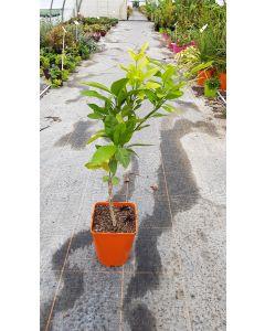 Citrus unshui 'Maxima' greffé sur Poncirus trifoliata / Mandarinier Satsuma Maxima