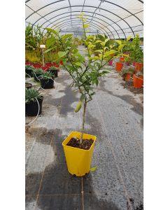 Citrus x junos greffé sur Poncirus trifoliata / Citronnier Yuzu