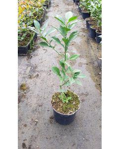Citrus x junos n°3 greffé sur Poncirus trifoliata / Citronnier Yuzu n°3