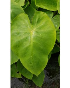 Colocasia esculenta ROYAL HAWAIIAN® 'Maui gold' / Oreille d'éléphant géante couleur citron vert