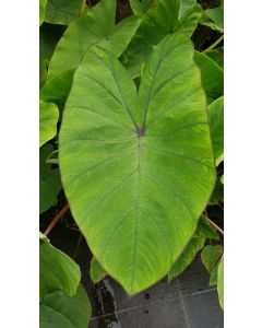 Colocasia esculenta ROYAL HAWAIIAN® 'Blue Hawaii' / Oreille d'éléphant géante couleur verte avec des veines bleu-violet
