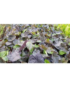 Colocasia esculenta ROYAL HAWAIIAN® 'kona coffee' / Oreille d'éléphant café
