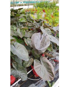 Colocasia esculenta 'Kona coffee' / Oreille d'éléphant café