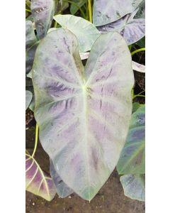 Colocasia esculenta ROYAL HAWAIIAN® 'Aloha' / Oreille d'éléphant géante couleur violet à nervure centrale vert clair