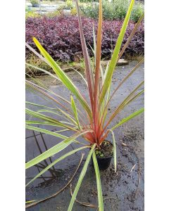 Cordyline australis 'Can Can' / Cordyline australe multicolor